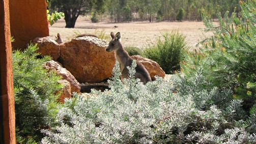 Kangaroos in the Top Paddock - Sydney Tourism