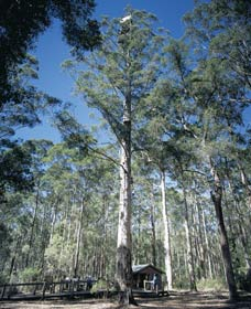 Diamond Tree Lookout Manjimup - Sydney Tourism