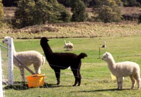Maydena Country Cabins Accommodation  Alpaca Stud - Sydney Tourism