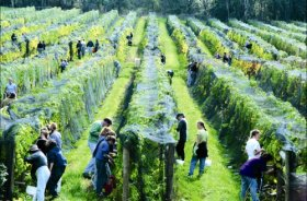 Crosswinds Vineyard - Sydney Tourism