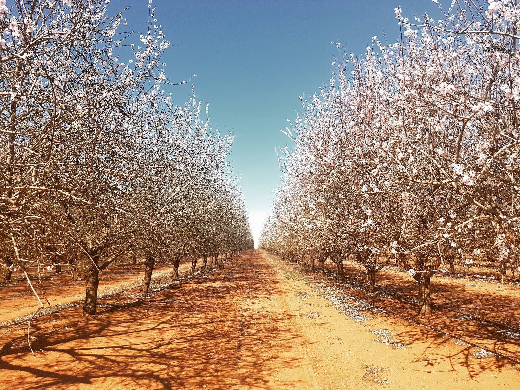 Mallee Almond Blossom Festival - Sydney Tourism