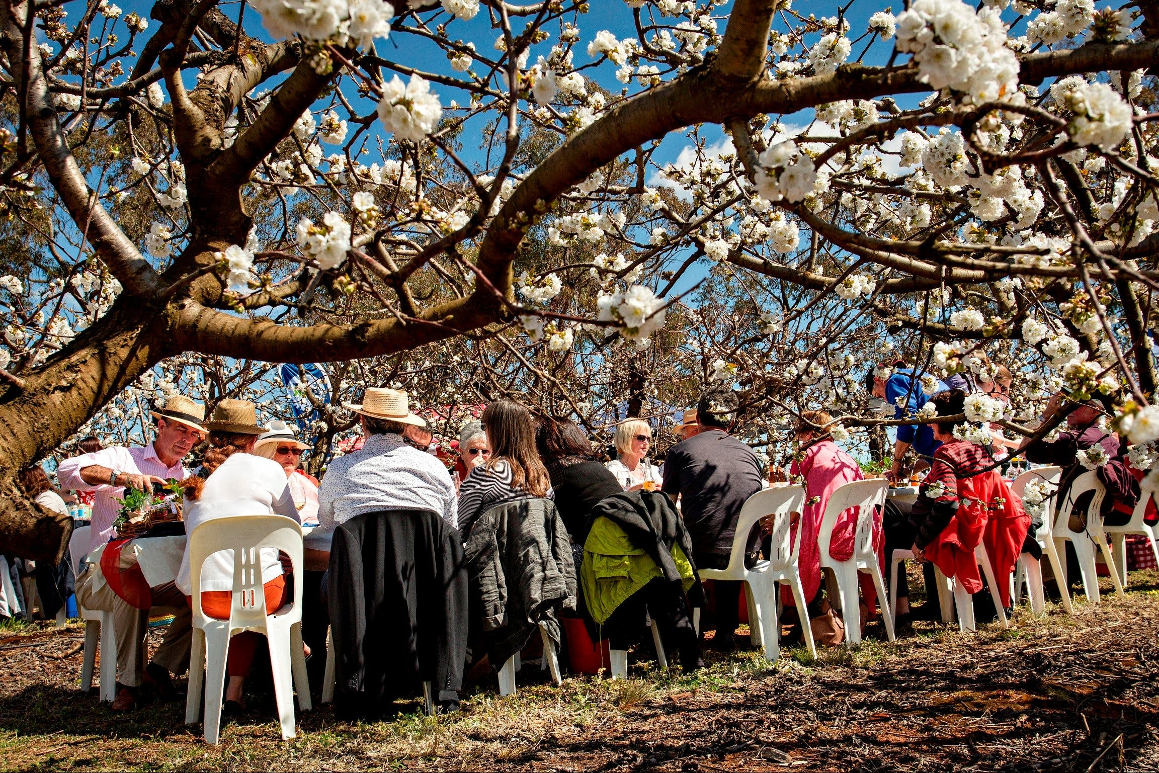 Young Cherry Blossom Long Lazy Lunch - Sydney Tourism